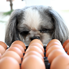 Dog with Eggs