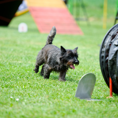 Small dog on an assault course