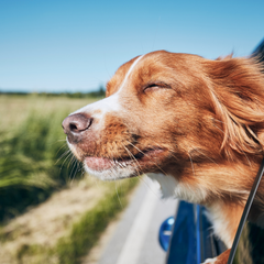 Dog with head out of back window