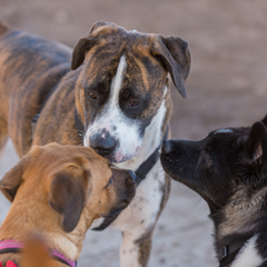 Three dogs sniffing at one another noses