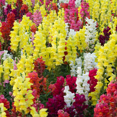 Snapdragon flowers in a variety of different colours