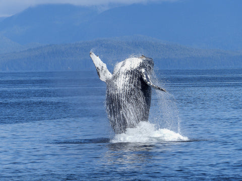 humpback whale breaching the ocean surface