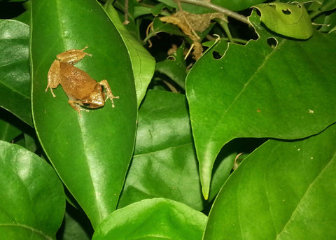 Puerto Rican Coqui Frog on a leaf, ready to sing