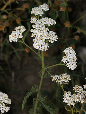 BD #502 Yarrow (Achillea millefolium) BD Compost Preparation