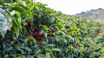 Roble Negro's Coffee Forest