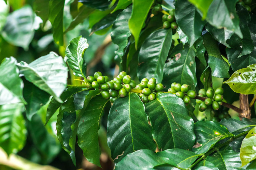 Green coffee cherries in Nariño, Colombia