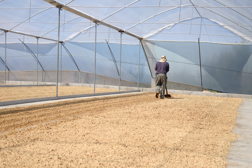 Coffee Producer Working on a Drying Patio