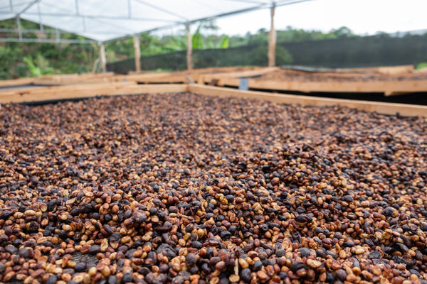 Honey Process Coffee Drying in Costa Rica