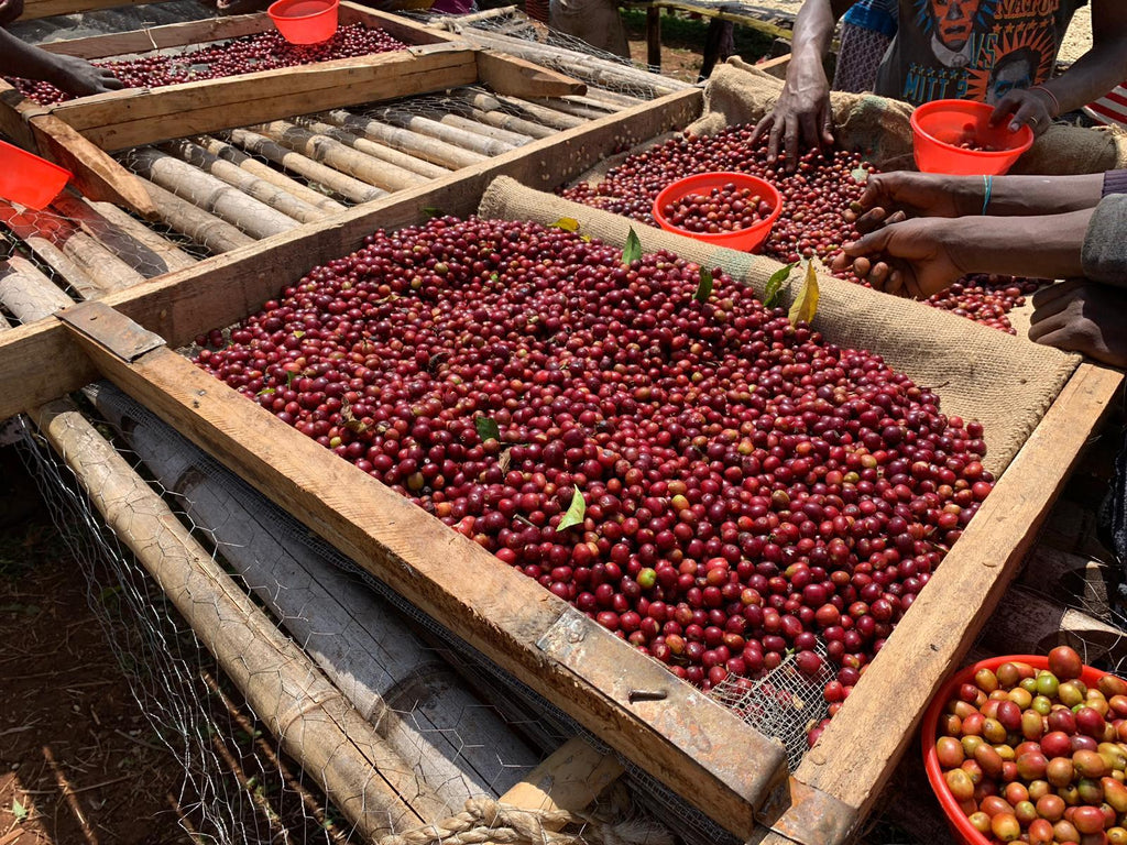 Coffee Cherries at Guji Uraga Solomo washing station