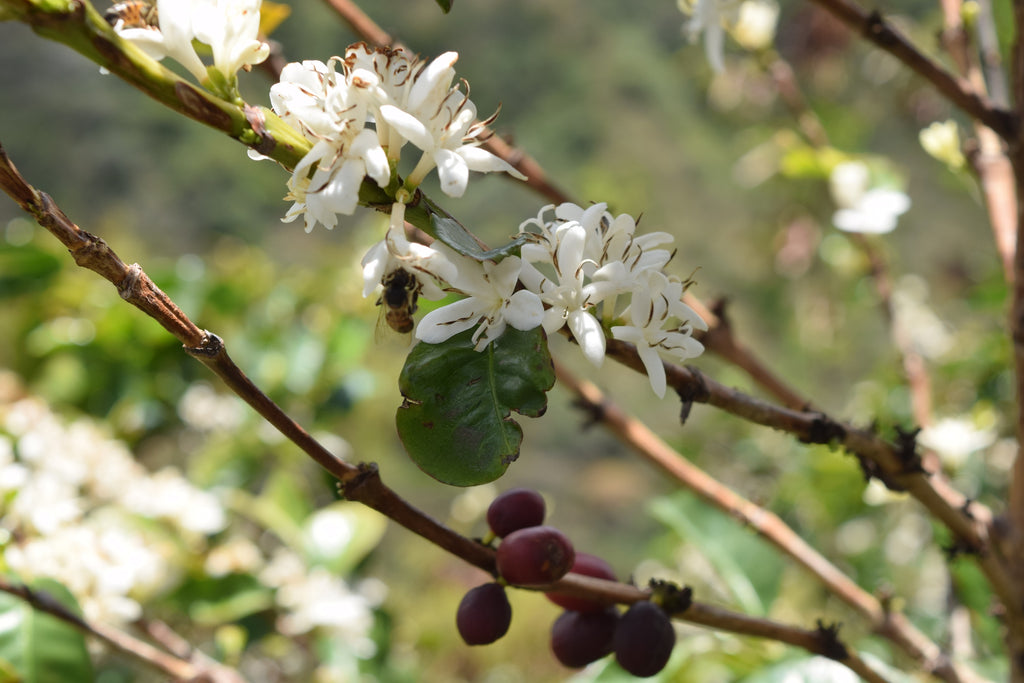 Coffee cherries and coffee blossoms on the branch at Finca La Maria
