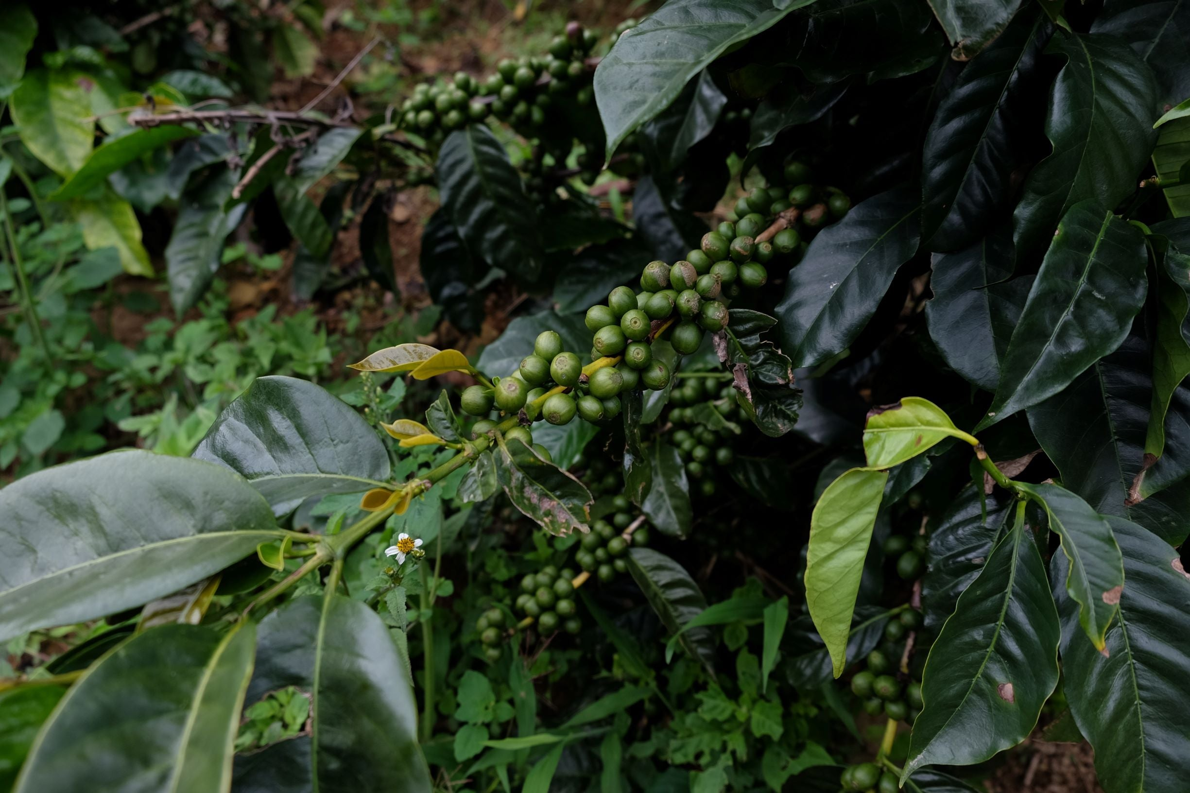Green coffee cherries ripening on the tree