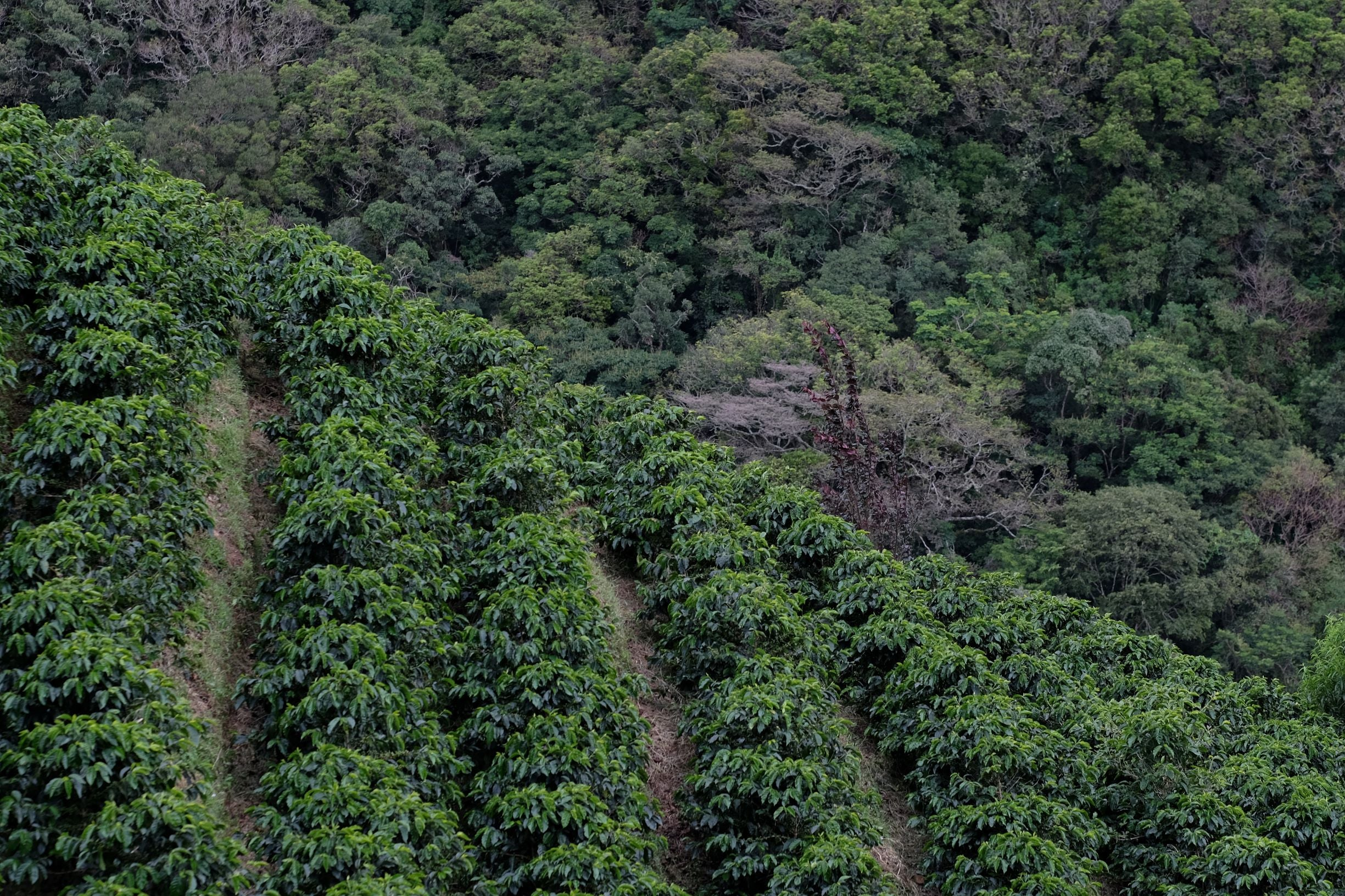 Coffee cultivation and forest preserve on Costa Rica farm