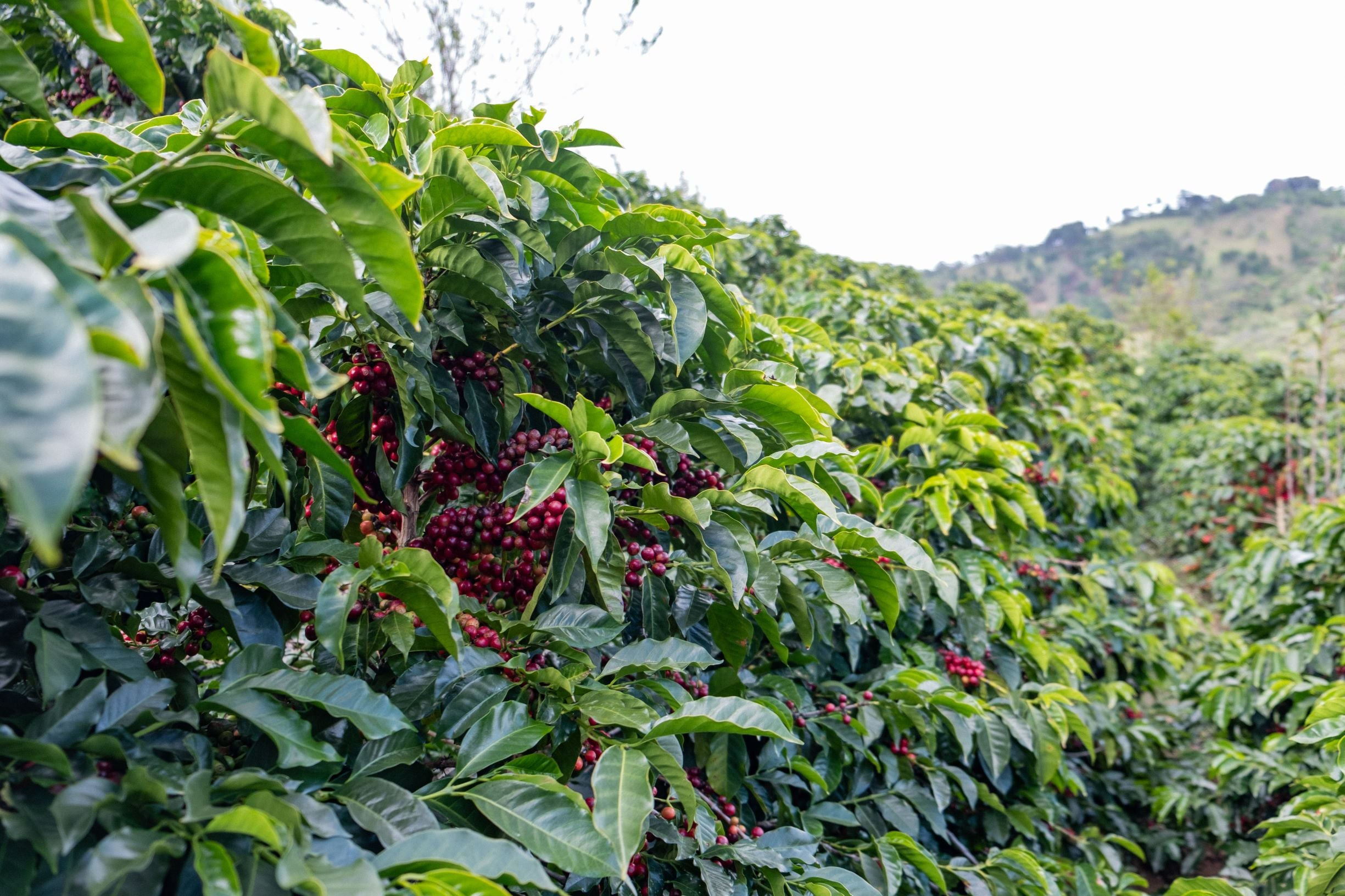 Ripe coffee cherries on the trees