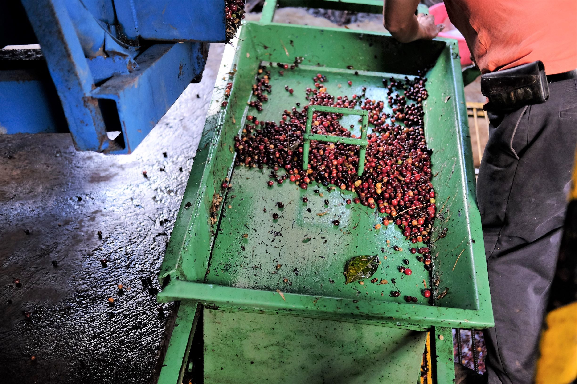 Measuring coffee cherries