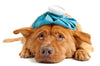 Dog Car Sickness; What is it and How to Prevent it