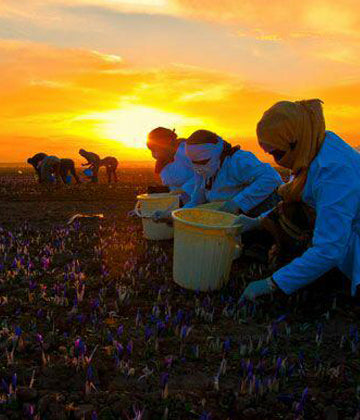 How does Coronavirus affect the Price of Saffron in 2020?