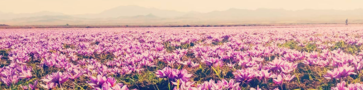 field of saffron