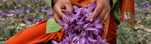 Picking Saffron