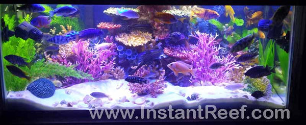 Beautiful African Cichlids Tropical Freshwater Fish Aquarium with fake corals by Instant Reef