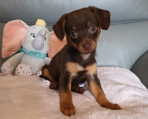 Welcoming Willow The Chorkie Puppy Into The Nature Angel Family