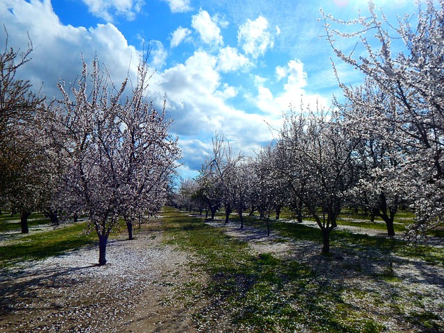 Pheromones Lure Bees in Almond Pollination Trial in Australia