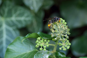 British Bees Threatened by Asian Hornets