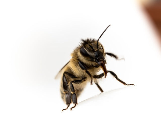 Bees May Soon Detect People Infected with Covid-19
