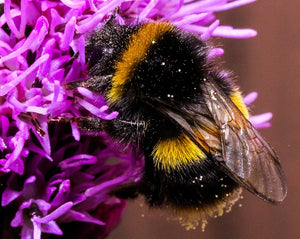 Please Help Bumblebees In 2020