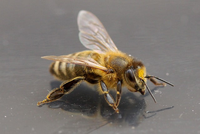 Honey Bees Recognize Human Faces
