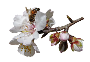 9 Billion Bees Go Nuts Over Almond Blossoms in Australia