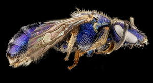 Glimmering Sweat Bee Impostors In Your Garden
