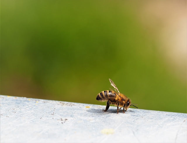 Honeybees Perform Drastic Social Distancing to Avoid Illness