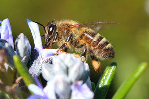 Australian Researcher: Bee Venom Kills Some Breast Cancer Cells