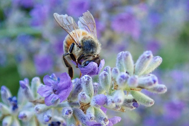 Honeybees, Lavender and DNA