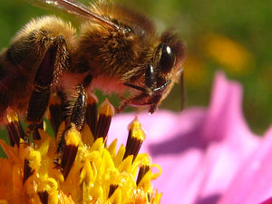 Bees Potentially Threatened by Gold Mine Project