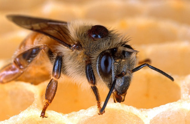 Do Domestic Honeybees Harm Wild Bumblebees?