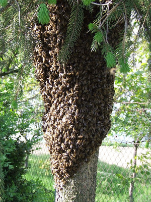 Do Not Harm Swarming Bees Please