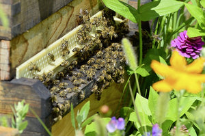 Extreme Times for Bees in Berlin and Queensland