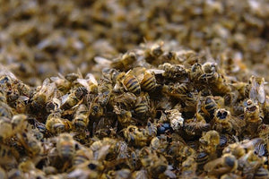 Another 5 Million Poisoned Bees in Costa Rica