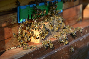 Canadian Scientists Try to Solve Bee Die-Off