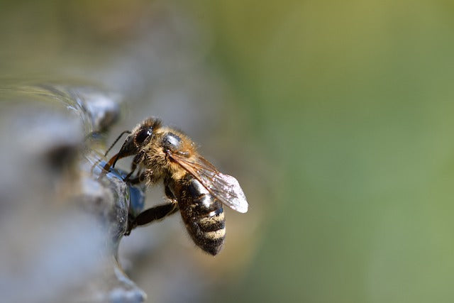 Honeybees Use Magnetic Abdomens to Navigate
