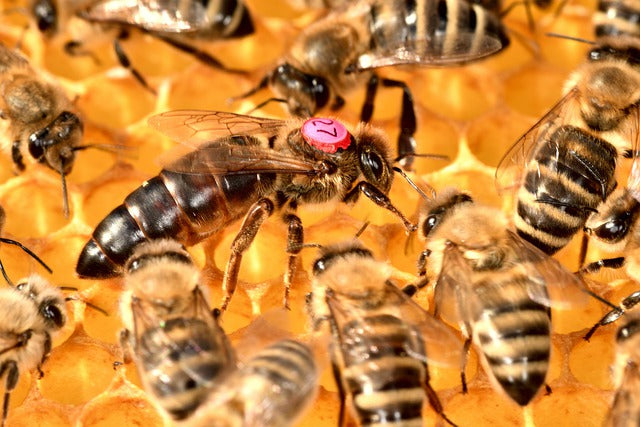 Queen Bee's Sperm Storage and Colony Collapse Disorder