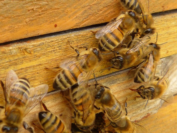 Hand-Feeding Australian Bees to Survive Winter