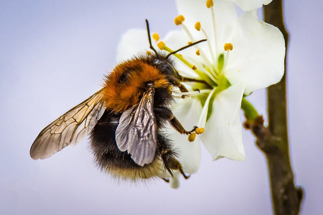 Wild Bees Decline Due to Pesticides and Food Scarcity