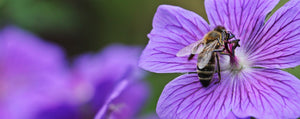 The Secret Reason Bees Love Blue and Purple Flowers