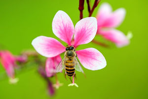 Bees Know Friend from Foe by Gut Bacteria Scent
