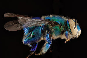 Two Species of Orchid Bees