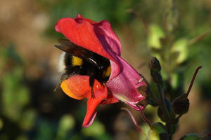 Baby Bumble Bee Brains Impaired by Pesticides