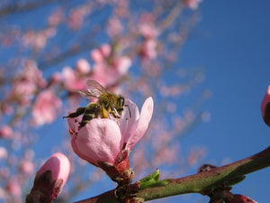 Shortage of Wild Bees Threatens Food Crops