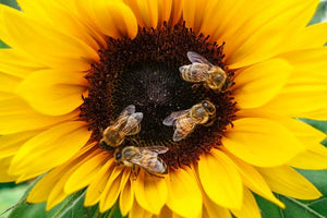 Outrage as France Proposes Relaxing Bee-Killing Pesticide Ban